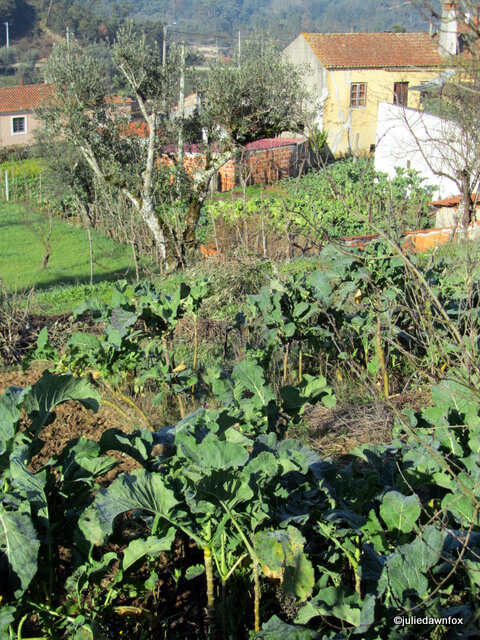 cabbage patches in a Portuguese village