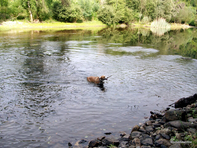 Daisy the dog fetching a stick from the River Alva