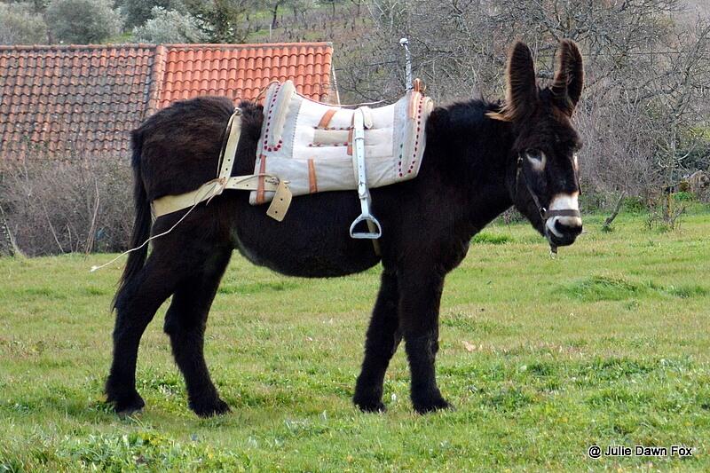 Mirandese donkey