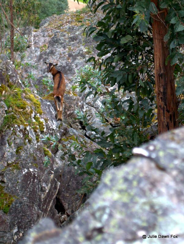 Goat on granite rocks, Senhora do Salto