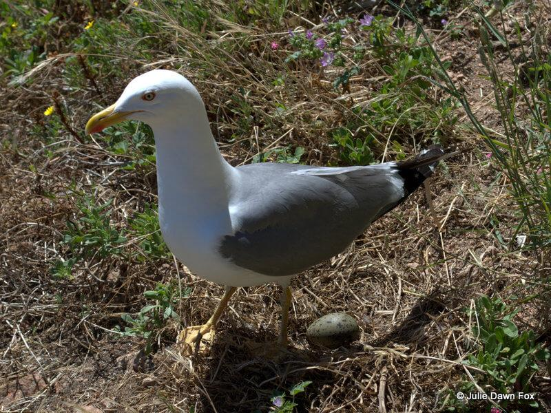 Seagull guarding her egg