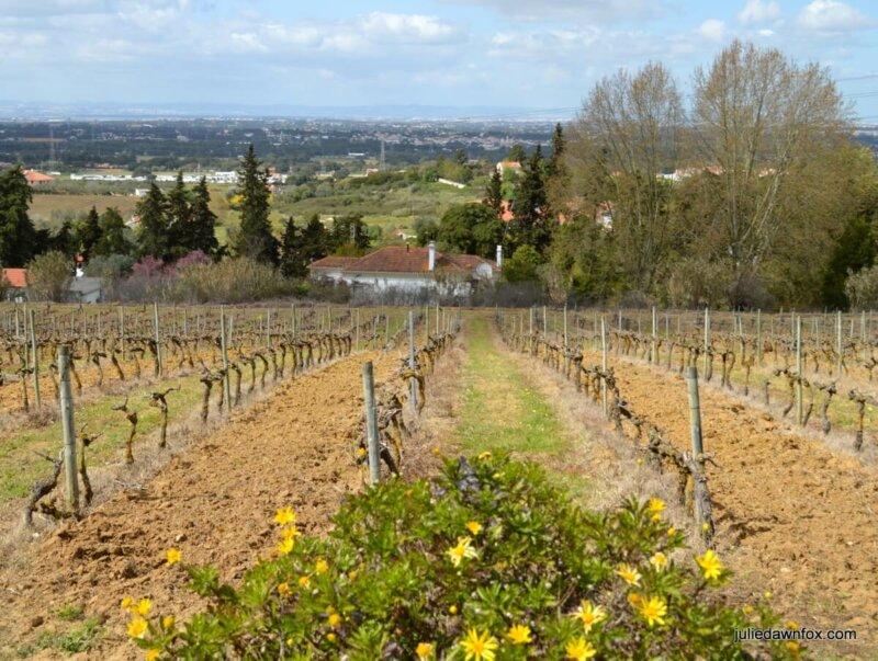 Muscatel vineyards, Quinta do Piloto, Palmela