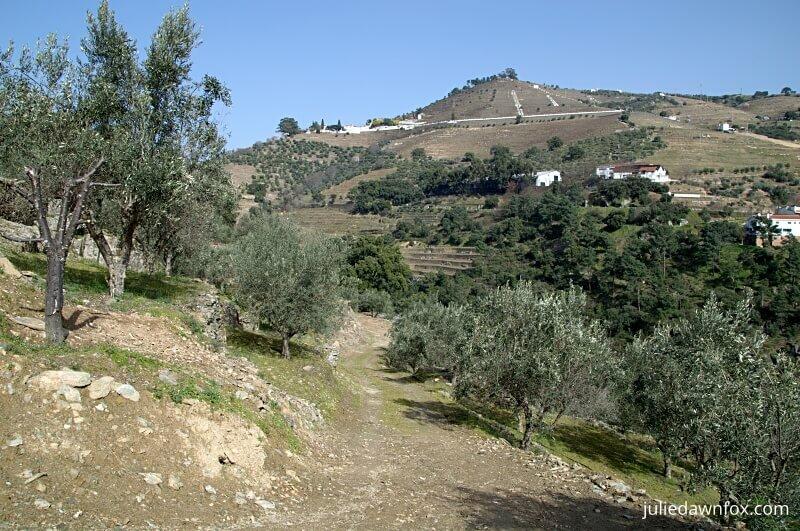 Olive grove and Quinta de Noval, Douro